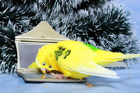 Yellow wavy parrot and his reflection in a mirror on a background the tree of Christmas.