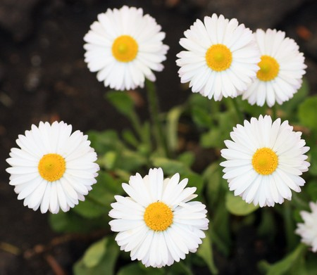 Small flowers of camomile. photo