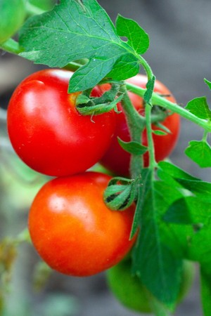 Tomatoes on a branch close-up photo