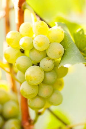 White grapes on a branch Stock Photo - 10192379