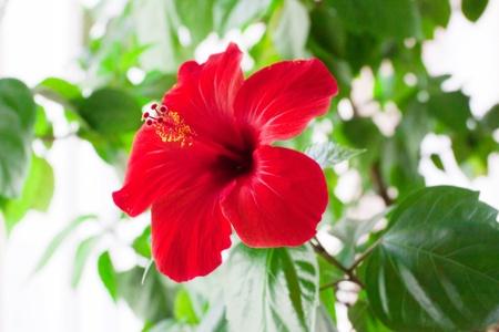 Red hibiscus flower detail Standard-Bild
