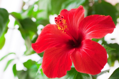 hibiscus flowers: Red hibiscus flower detail Stock Photo