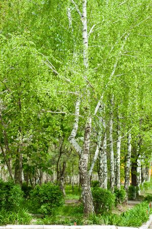 Trees of a birch with fresh foliage photo