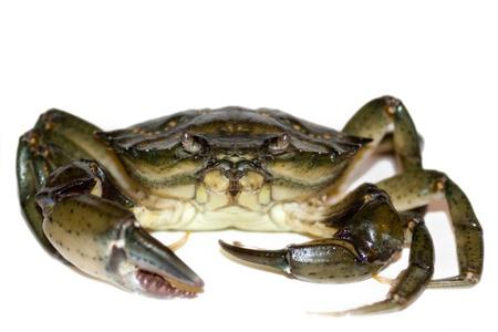 large living crab close up photo