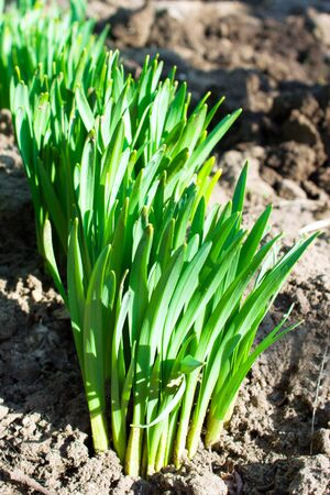spring sprouts of young narcissuses photo