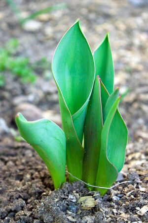 foliage of a young tulip growing by spring Stock Photo - 12857913