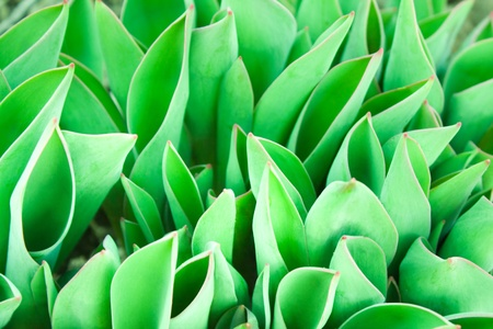 background leaves of young tulips photo