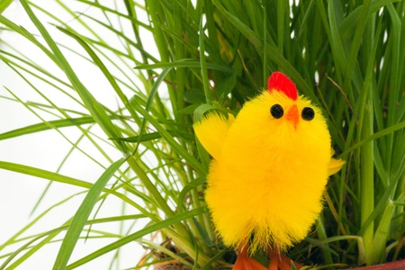 hatchling: one easter chicken in a green grass