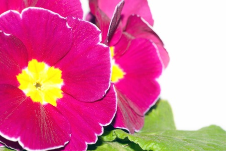 primrose bunch of flowers on a white background photo