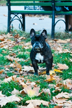 French bulldog in park on walk Stock Photo - 13334416