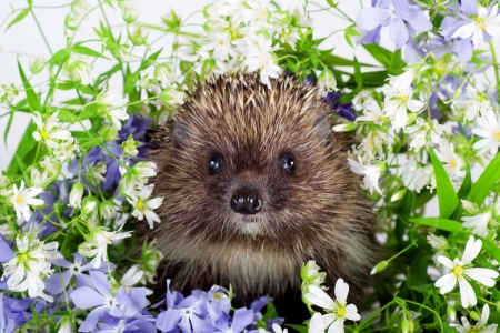 Hedgehog and wild flowers photo