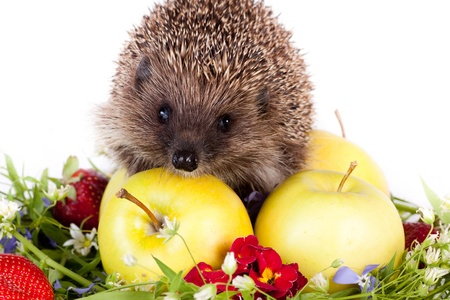hedgehog, wild flowers and yellow apples