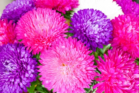 bright flowers of a chrysanthemum photo