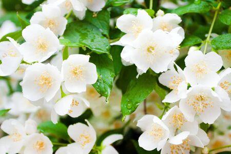 background jasmine flowers close up photo