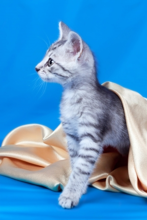 pets kitten on a silk fabric photo
