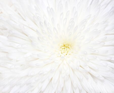 Petals of a white chrysanthemum flower Stock Photo - 14771778