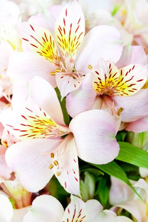 beautiful gentle exotic flowers Alstroemeria photo