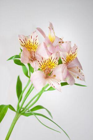 flores exoticas: hermosa dulce ex�tico Alstroemeria flores