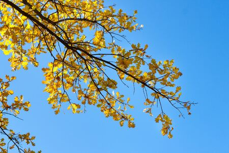 Autumn leaves of an oak against the blue sky  Horizontal photo