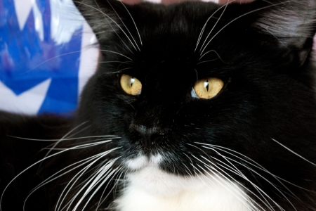 portrait of a black cat of Maine Coon Stock Photo - 17541844