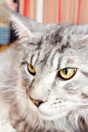 portrait of a cat of Maine Coon  snow leopard  Stock Photo - 17541857