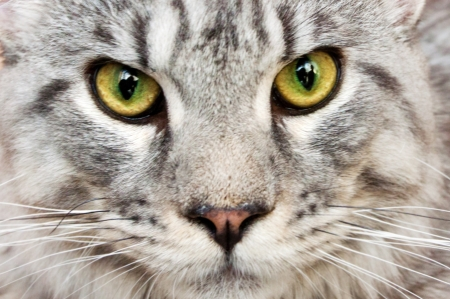 portrait of a cat of Maine Coon  snow leopard  photo