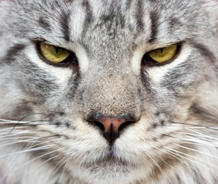 retrato de un gato de Maine Coon leopardo de las nieves Foto de archivo - 17574217