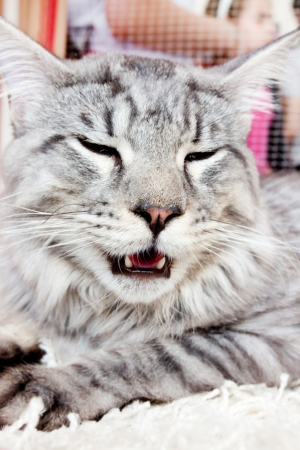 portrait of a cat of Maine Coon  snow leopard Stock Photo - 17541846