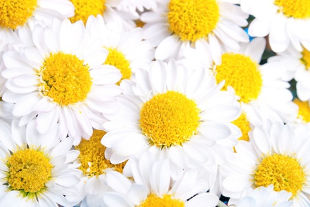 very many chamomile flowers photo