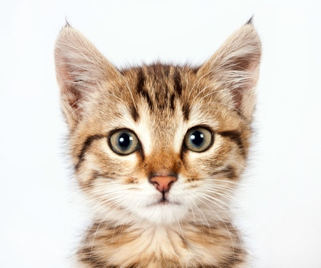 cute kitten: Portrait of a little tabby kitten closeup