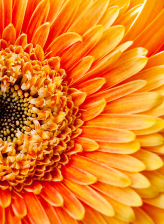 Background, bright chrysanthemum flower closeup photo