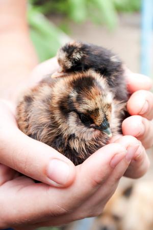 origen animal: Pequeño pollo en sus manos cerca