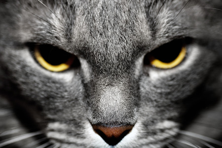 gray cat: Angry purebred gray cat portrait. Stock Photo