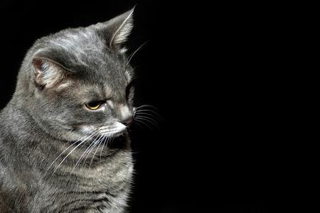 gray cat: Purebred gray cat looking down Stock Photo