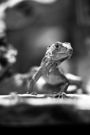 Lizard on the tree (black and white) photo