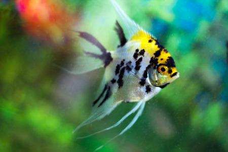 Beautiful aquarium fish photo