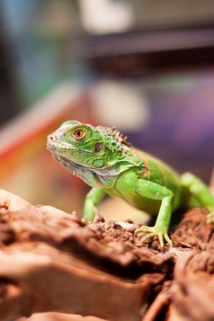 greeen: Green lizard on a tree Stock Photo