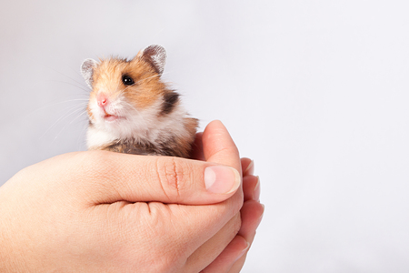little hamster in the hands of a man on a white background