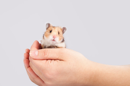 cute hamster: little hamster in the hands of a man on a white background