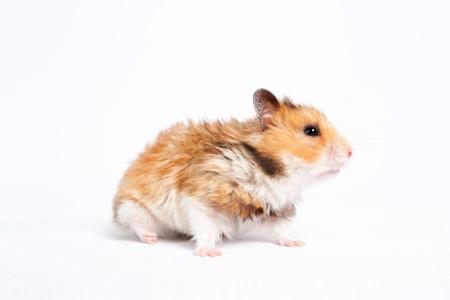 small pet hamster walks