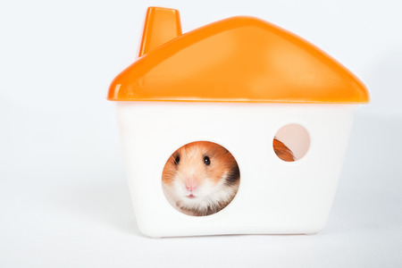 little hamster in the house