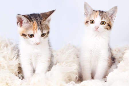 spotted fur: two tricolored spotted kitten sitting on a fur rug for cats