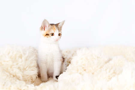 spotted fur: tricolored spotted kitten sitting on a fur rug for cats Stock Photo