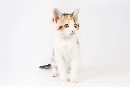 tricolor: very beautiful little tricolor kitten