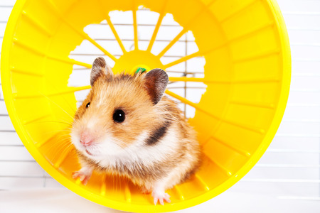 hamster running in the running wheel isolated on white background