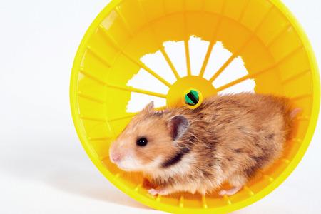 Hamster im Laufrad läuft auf weißem Hintergrund