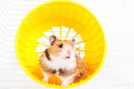 hamster running in the running wheel isolated on white background