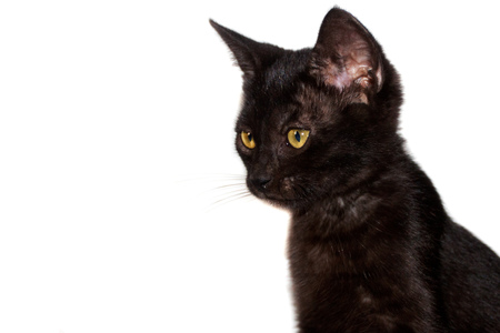 funny black shorthair cat isolated