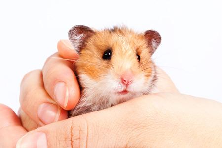 kleiner Hamster in den Händen eines Mannes auf einem weißen Hintergrund