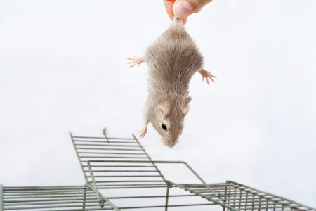person takes in a hand with gerbil mouse cells